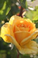 Yellow Rose by lostinmymind101