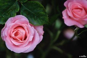 Queen Mary's Roses by FloraDelaney