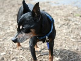 Min Pin FTW... by Tuftless