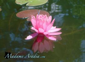 Water Lily by MadameAradia