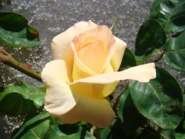 Yellow Rose IX by EmmaL27