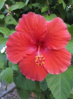 Hibiscus Flower 1 by AxelHonoo