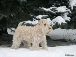 Winter Wheaten by Bafa