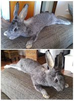 Big Chinchilla Rabbit Softmount Taxidermy by DeerfishTaxidermy