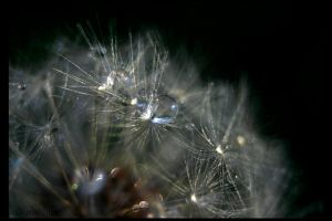 Dandelion Droplets 1 by UffdaGreg