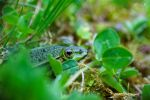 Frog in hiding by KrisSimon