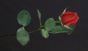 Stock Roses 3 by AmbiePetals-Stock