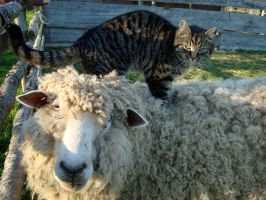 Cat and Sheep by supersaiyancecilyS