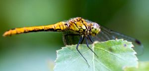 Dragonfly by mikmeart