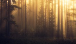 Foggy Pine Forest II by JoniNiemela