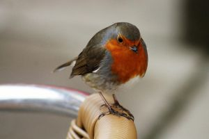 Little Robin Red Breast by 53kshun8