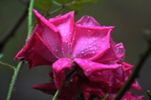 Rainy Rose by Tailgun2009