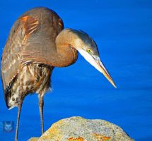 Hunched Over Heron by wolfwings1
