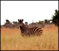 Zebra in the Grass by mikewilson83