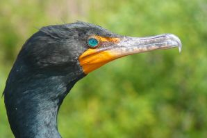 Surprise Stock: Double-crested Cormorant Head by SenshiStock