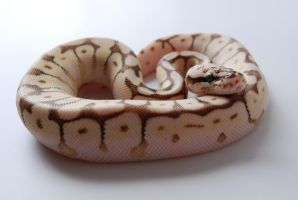 Baby Ball Python 3 by FearBeforeValor