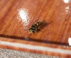A wasp by CVET