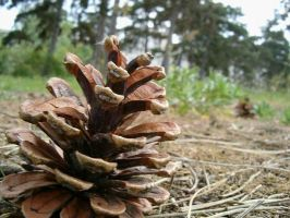 Fir-cone by Cab-GdL