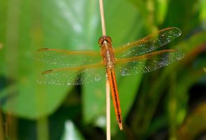 Dragonfly Series (Scarlet Skimmer) by sioranth