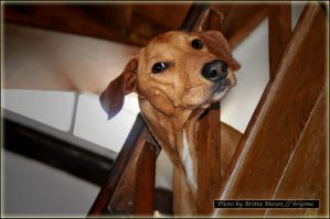 dog on stair by brijome