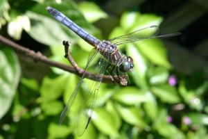 Dragonfly01 by 1ASP1