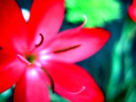 Red Flower in the Abstract by Sing-Down-The-Moon