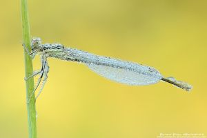 Damselfly by patrykcyk