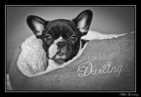 french bulldog 2 by mikkolo77