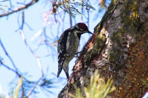 Yellow bellied sapsucker (Sphyrapicus varius) by minamiko