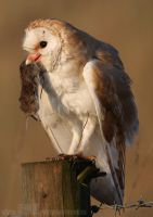 Barn Owl with Prey by Albi748