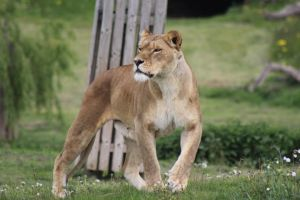 Lioness 10 by lucky128stocks