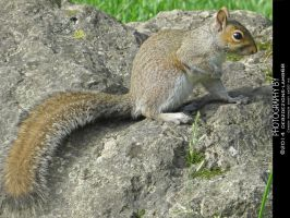 Squirrel on a rock by debzdezigns-lamb68