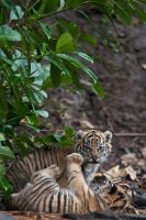 Sumatran Tiger Cubs 291-11d by Haywood-Photography