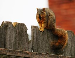 Squirrel with Sweet Gum Seed by blackwolf085