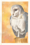 Barn Owl 1 by AucoinArt