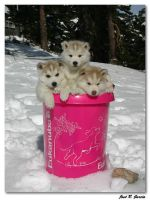 Puppies in the Bucket by LoliiTD