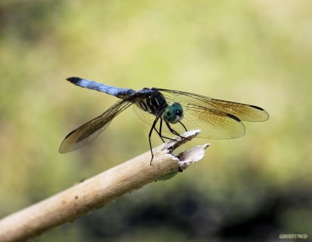Dragonfly Stock 1 by Ghost1701d