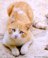 Blue eyed cat by Stavraham