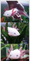 My Axolotl Part 2 by geheimagentinMian