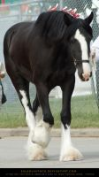 Clydesdale 3 by SalsolaStock