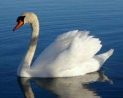 Swan 5_Stock by MJ84-StockPhotos