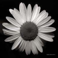 Daisy Monochrome 4 by DorianStretton