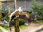 Griffon Vulture - Wings Stock5 by xCrystals