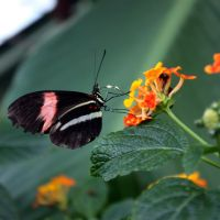 Butterfly Feeding On Lantana by aegiandyad