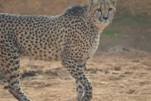 Cheetah 1 by decolesse-stock
