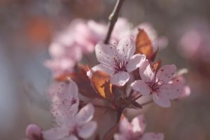 cherry blossoms 4 by 30-noir