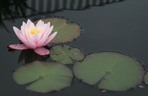 water lily stock image by Nexu4