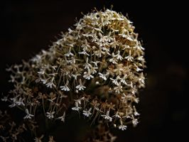 white valerian by awjay
