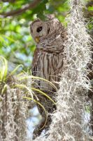 Barred Owl by ashamandour