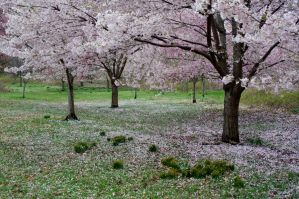 Cherry Blossoms 6 by FairieGoodMother